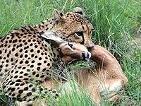 Een cheetah die een impala doodt met een keelbeet