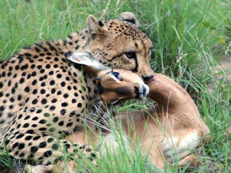 Cheetah with impala