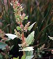 Chenopodiumfoliosum.jpg