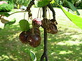 Cherries attacked by fungi 01.JPG