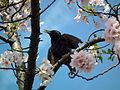 Cherry Blossom DC 2014 (14100887685).jpg
