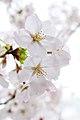 Cherry blossom near Zenpukuji river, Tokyo; March 2008 (05).jpg