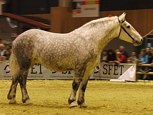 Percheron - A gray Percheron
