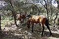 Chevaux - خيول - panoramio.jpg