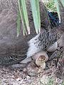 Chicken of peacock (zoo d'Attilly).jpg