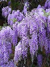lavender color wikipedia