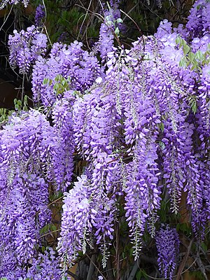 Lavender (color) - Chinese wisteria