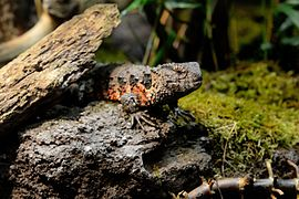 Chinesische Krokodilschwanzechse Tiergarten Schoenbrunn.jpg