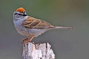 Description de l'image Chipping Sparrow.jpg.