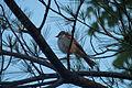 Chipping Sparrow (Spizella passerina) - Guelph 01.jpg