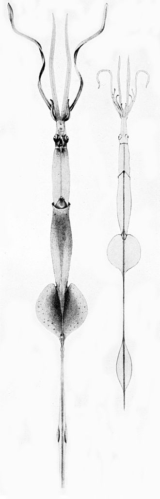 Gladius (cephalopod) - Paralarval chiroteuthids (such as the Chiroteuthis veranyi pictured) are unusual in that they possess a greatly elongated gladius extending well beyond the fins; this supports a long, trailing tail-like structure.