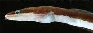 Chlopsidae - Chlopsis bicolor