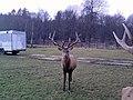 Chodovská Huť jelení zvěř - panoramio (2).jpg