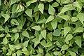 Chromolaena odorata 8577.jpg
