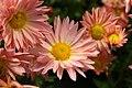 Chrysanthemum Dee Samba 3zz.jpg