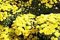Chrysanthemum Erica 6zz.jpg