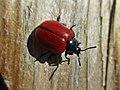 Chrysomela populi (Chrysomelidae) - (imago), Elst (Gld), the Netherlands.jpg
