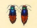 Chrysomelidae - Aesernia splendens.JPG