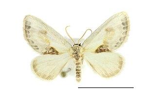 Cilix glaucata - wing pattern