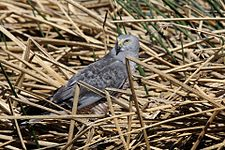 Cinereous Harrier (Circus cinereus) (15771717750).jpg