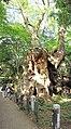 Cinnamomum camphora 20100612 (Kinomiya Shrine) (D).jpg
