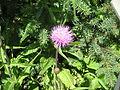 Cirsium heterophyllum001.jpg