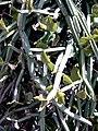 Cissus quadrangularis MS0938.jpg