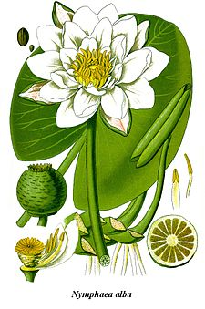 Cleaned-Illustration Nymphaea alba.jpg