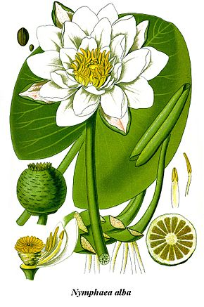 Description de l'image Cleaned-Illustration Nymphaea alba.jpg.