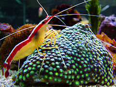 Cleaner Shrimp on zoanthus macro.jpg