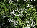 Clematis terniflora s2.jpg