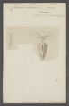 Cleodora balantium - - Print - Iconographia Zoologica - Special Collections University of Amsterdam - UBAINV0274 080 07 0006.tif