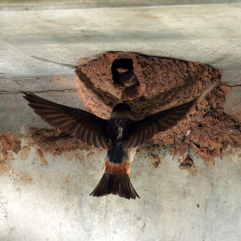 Cliff Swallow (5946633586)
