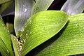 Clivia miniata 20zz.jpg