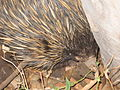 Close up of Echidna.JPG
