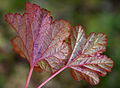 Cloudberry leaves (2808077247).jpg