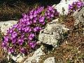 Clusius-Primel (Primula clusiana).jpg