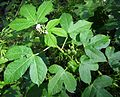 Cnidoscolus urens (L.) Arthur - Flickr - Alex Popovkin, Bahia, Brazil (7).jpg