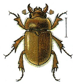 Codocera ferruginea