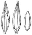 Coleataenia longifolia ssp combsii (as Panicum combsii) HC-1935.png
