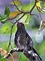 Colibrí de pecho blanco (Amazilia fimbriata).jpg