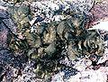 Collema subflaccidum-4.jpg