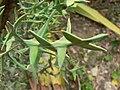 Colletia paradoxa (Villa Hanbury, Italy) 1.jpg