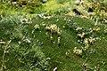 Colobanthus quitensis (H.B.K.) Bart (Caryophyllaceae) (39733512870).jpg