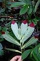 Columnea ericae (Gesneriaceae) (30203162951).jpg