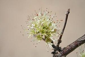 Combretum - Combretum aculeatum inflorescence