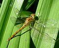 Common Darter . Immature Male. Sympetrum striolatum - Flickr - gailhampshire.jpg