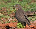 Common Hawk Cuckoo (Hierococcyx varius) at Narendrapur W IMG 4118.jpg