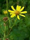 Common Ragwort (Senecio jacobaea).jpg