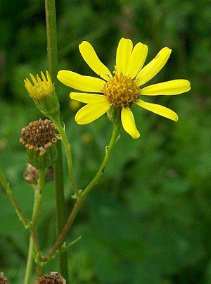 Josephine Kermode - The Cushag, the national flower of the Isle of Man